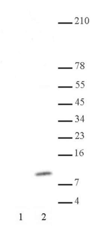 Histone H4K8ac Rabbit anti-Human, Unconjugated, Polyclonal, Active Motif:Antibodies:Primary