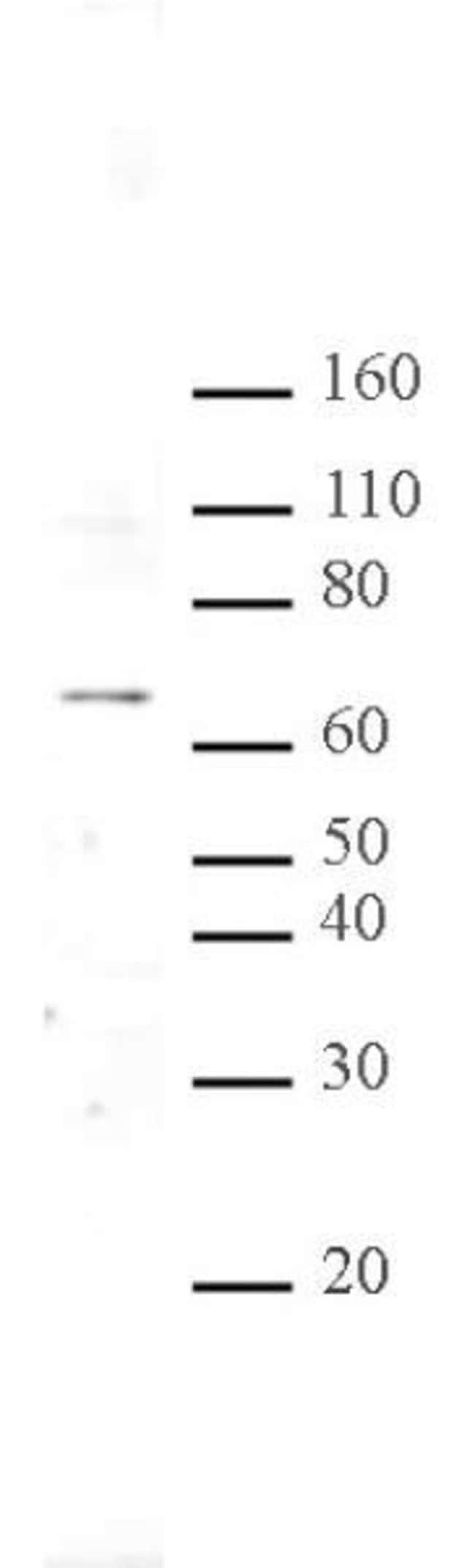 MeCP2 Rabbit anti-Human, Mouse, Unconjugated, Polyclonal, Active Motif:Antibodies:Primary
