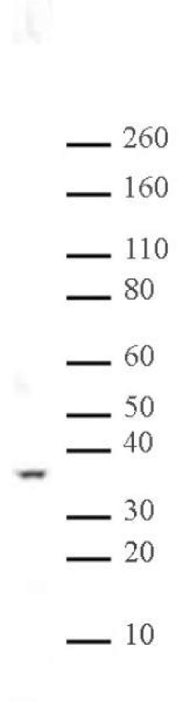 PP2A Rabbit anti-Human, Mouse, Rat, Unconjugated, Polyclonal, Active Motif:Antibodies:Primary