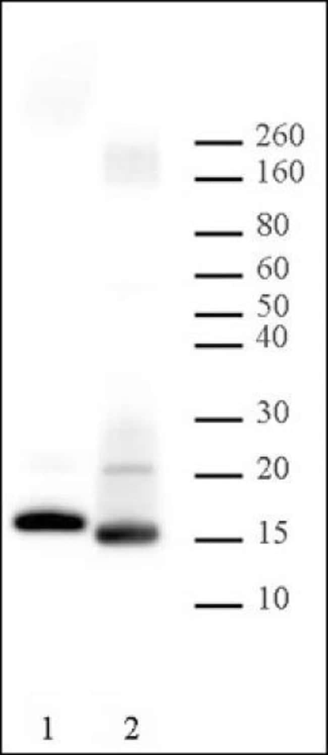 Histone H2B Rabbit anti-Yeast, Unconjugated, Polyclonal, Active Motif:Antibodies:Primary