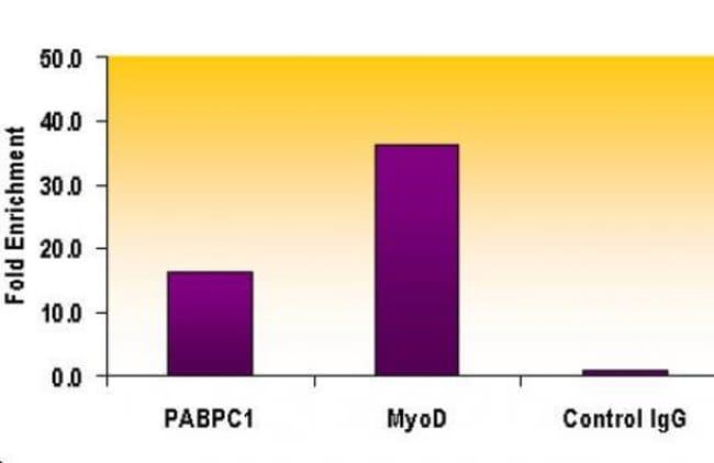 Histone H3K9me2 Rabbit anti-Human, Mouse, Unconjugated, Polyclonal, Active
