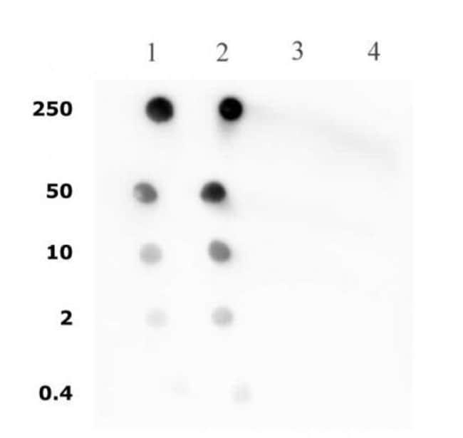 Histone H4ac (pan-acetyl) Rabbit anti-Human, Mouse, Unconjugated, Polyclonal,