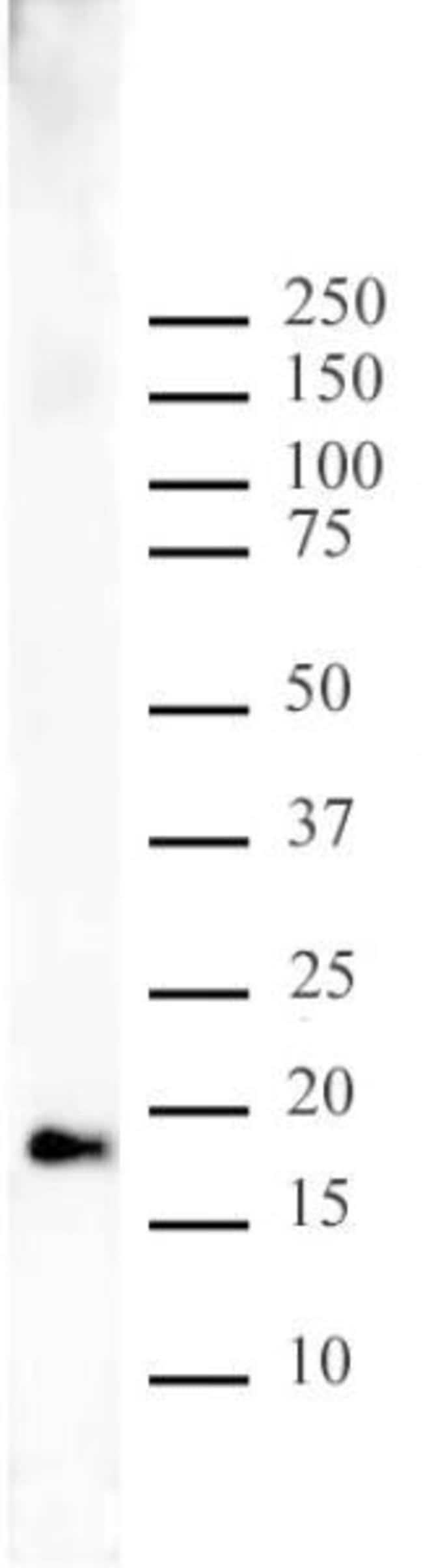 Histone H3K9me1 Rabbit anti-Human, Unconjugated, Polyclonal, Active Motif:Antibodies:Primary