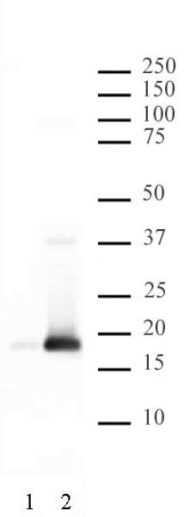 Histone H3S10ph Rabbit anti-Human, Unconjugated, Polyclonal, Active Motif:Antibodies:Primary