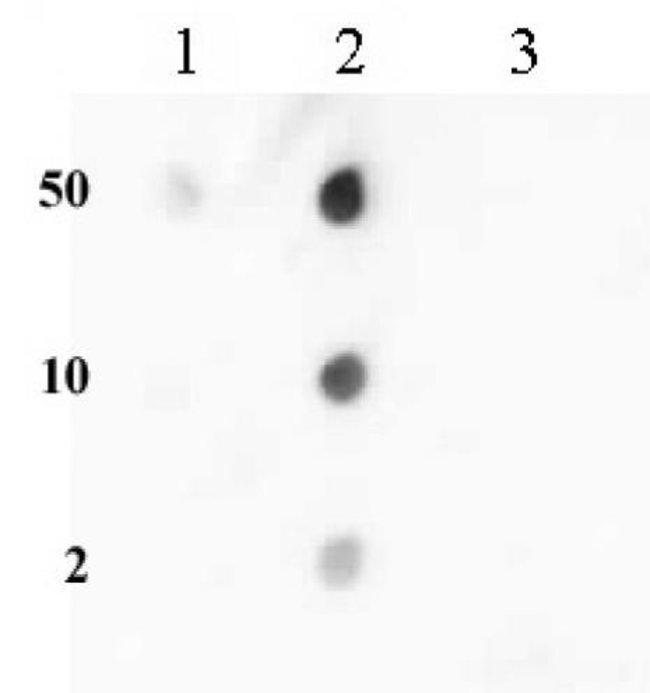 Histone H3K36me2 Rabbit anti-Human, Unconjugated, Polyclonal, Active Motif:Antibodies:Primary