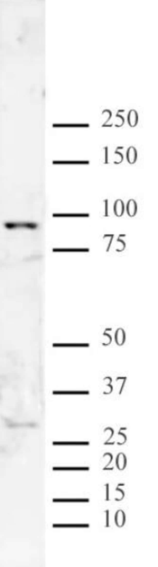 JMJD2F Rabbit anti-Human, Unconjugated, Polyclonal, Active Motif:Antibodies:Primary
