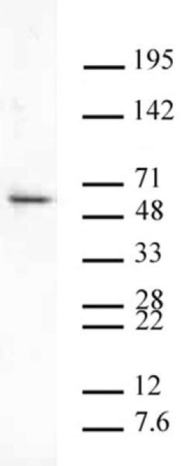 Aurora B Rabbit anti-Human, Mouse, Unconjugated, Polyclonal, Active Motif:Antibodies:Primary