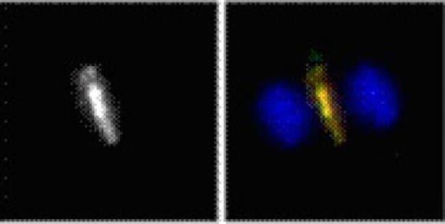 Phospho-Cyk-4 (Ser170) Rabbit anti-Human, Unconjugated, Polyclonal, Active