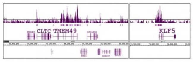 Histone H3K56ac Rabbit anti-Human, Unconjugated, Polyclonal, Active Motif:Antibodies:Primary
