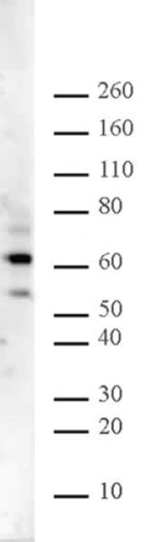 Ikaros Rabbit anti-Mouse, Unconjugated, Polyclonal, Active Motif:Antibodies:Primary