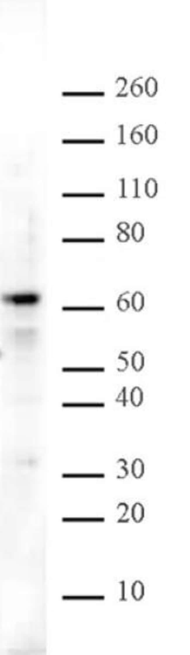 Aiolos Rabbit anti-Mouse, Unconjugated, Polyclonal, Active Motif:Antibodies:Primary