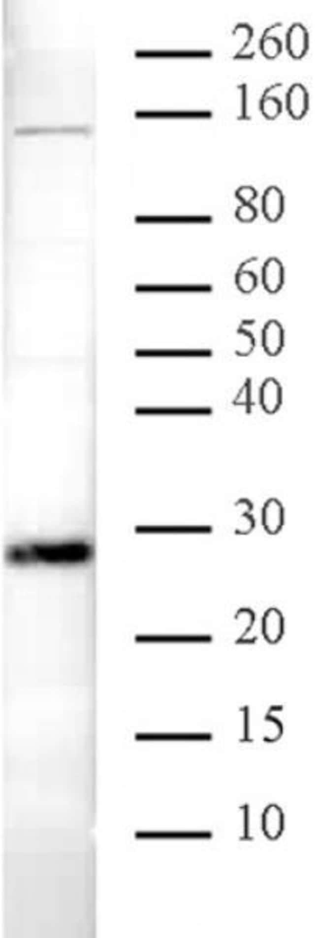 HP1 alpha Rabbit anti-Human, Mouse, Unconjugated, Polyclonal, Active Motif:Antibodies:Primary