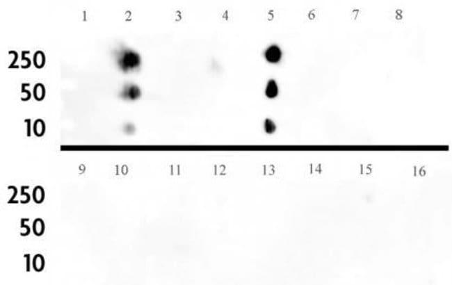 Histone H3K4me1 Rabbit anti-Human, Mouse, Unconjugated, Polyclonal, Active
