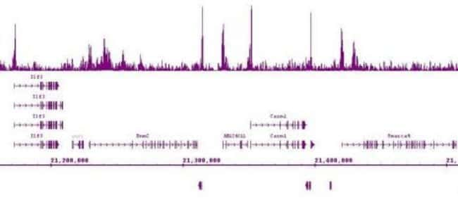 Ikaros Mouse anti-Mouse, Clone: 2A9, Active Motif:Antibodies:Primary Antibodies
