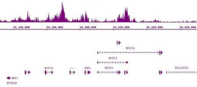 Suz12 Rabbit anti-Human, Mouse, Unconjugated, Polyclonal, Active Motif:Antibodies:Primary