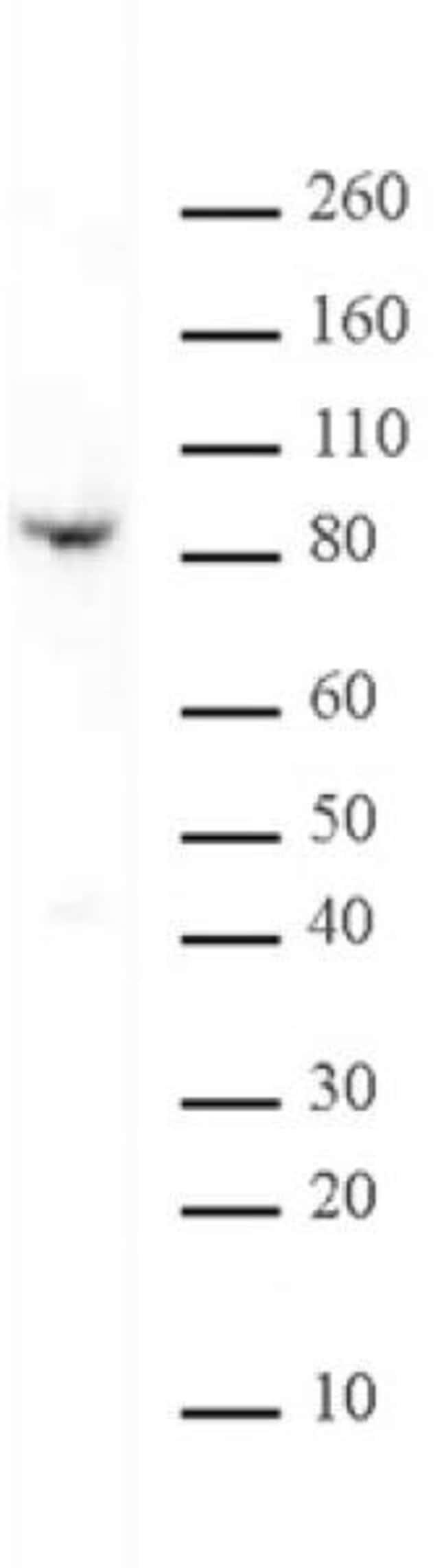 Kaiso Mouse anti-Mouse, Clone: 6F1D, Active Motif:Antibodies:Primary Antibodies