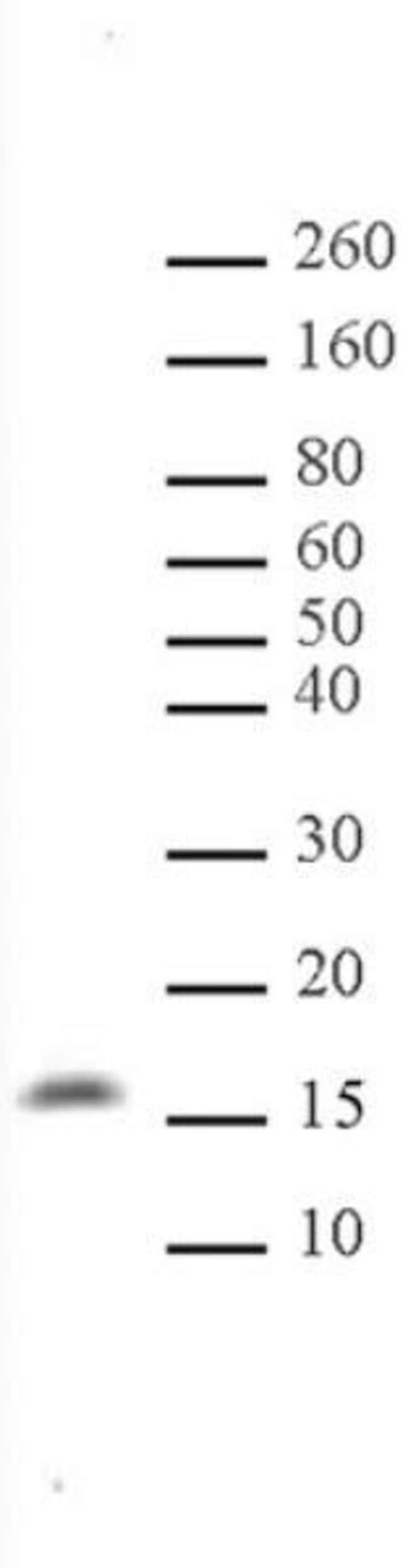 Histone H3K122me1 Rabbit anti-Human, Unconjugated, Polyclonal, Active Motif:Antibodies:Primary