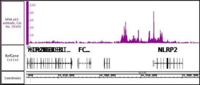 NFkB p65 Rabbit anti-Human, Unconjugated, Polyclonal, Active Motif:Antibodies:Primary