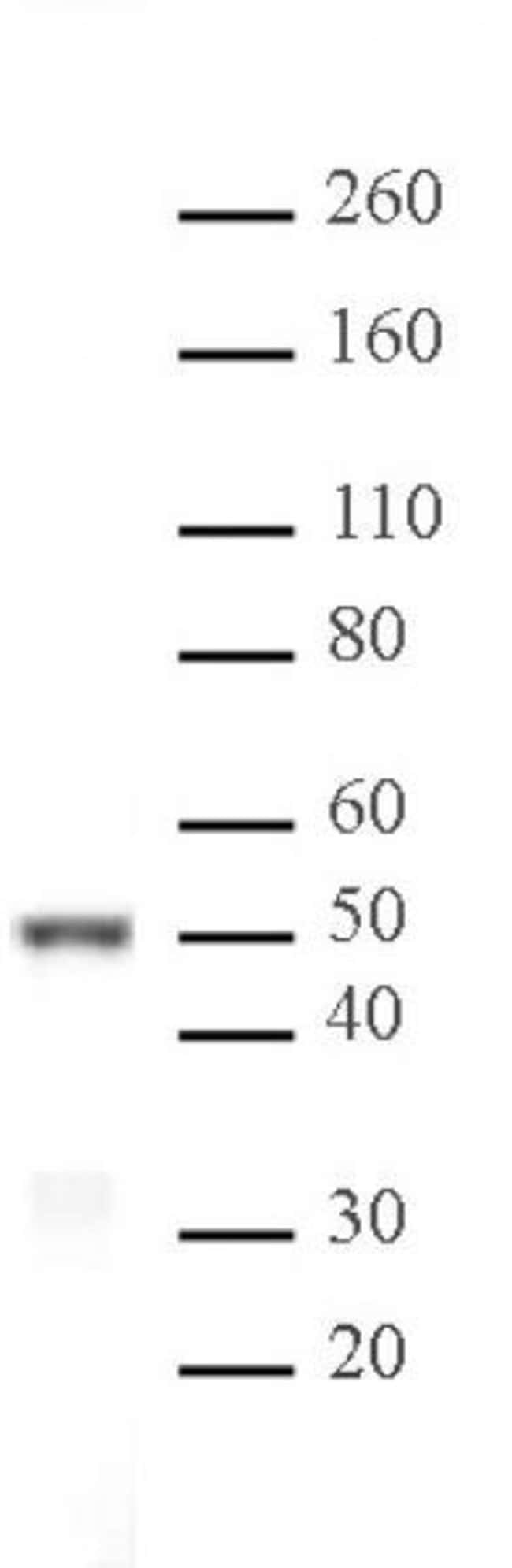 IRF-3 Rabbit anti-Human, Unconjugated, Polyclonal, Active Motif:Antibodies:Primary