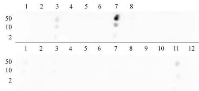 Histone H3K9me2 Rabbit anti-Human, Unconjugated, Polyclonal, Active Motif:Antibodies:Primary