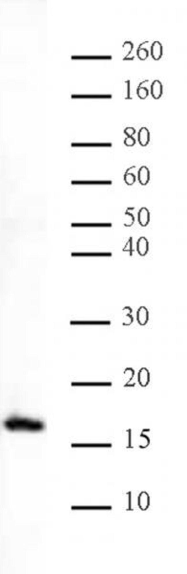 Histone H3K27me1 Rabbit anti-Human, Unconjugated, Polyclonal, Active Motif:Antibodies:Primary