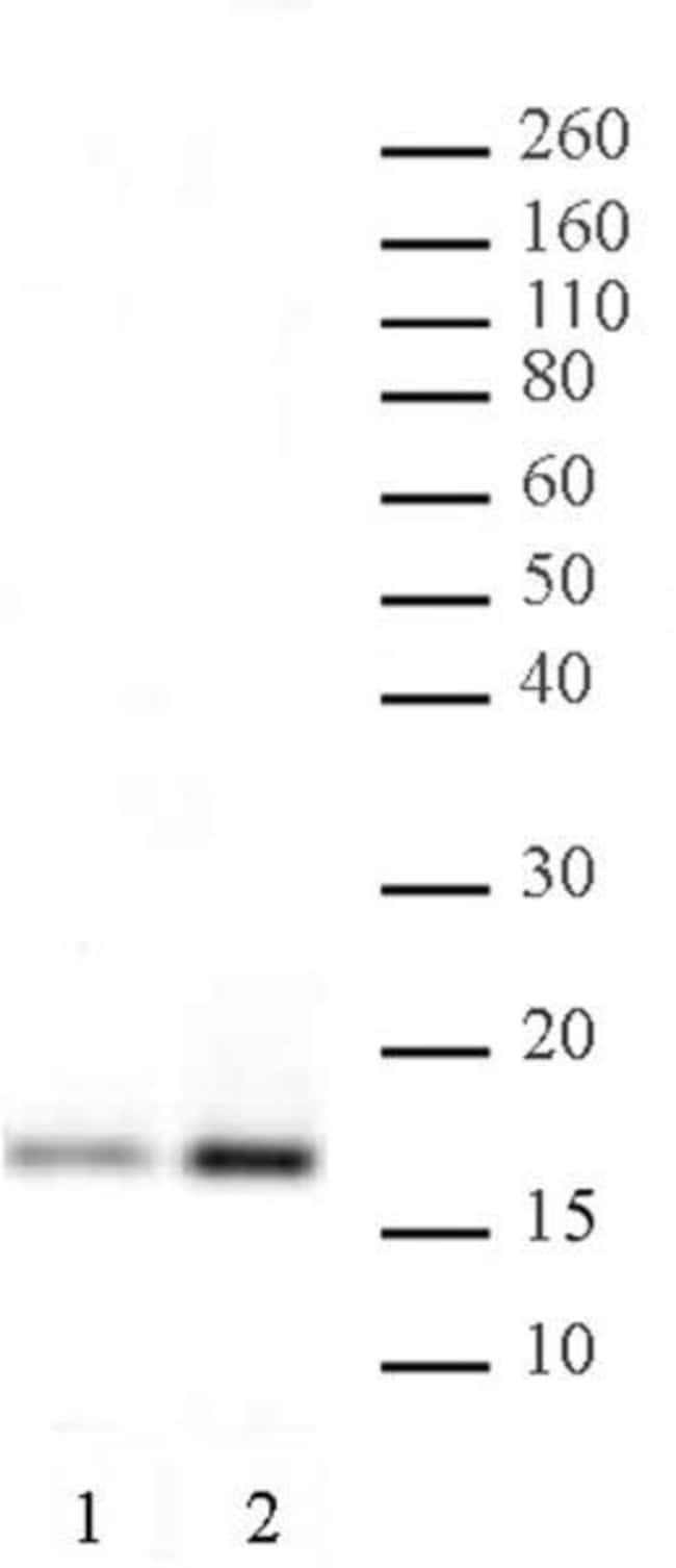 Histone H3K4ac Rabbit anti-Human, Unconjugated, Polyclonal, Active Motif:Antibodies:Primary