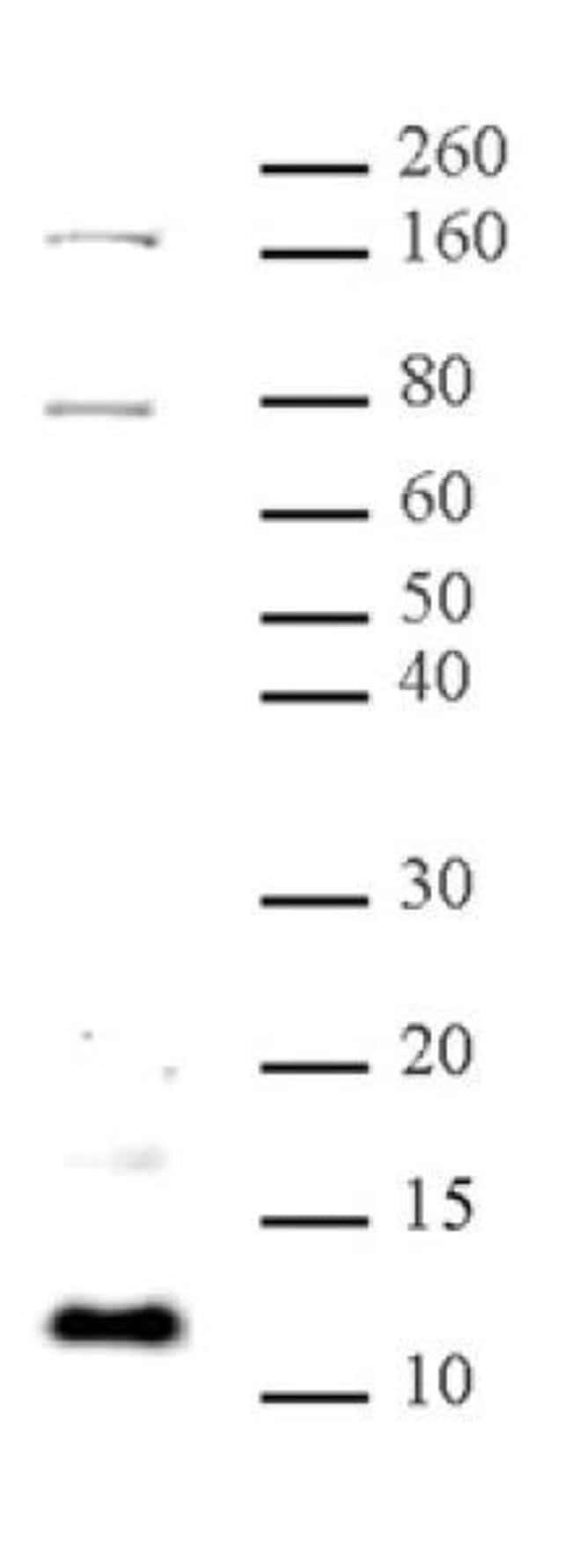 Histone H4K31me1 Rabbit anti-Human, Unconjugated, Polyclonal, Active Motif:Antibodies:Primary