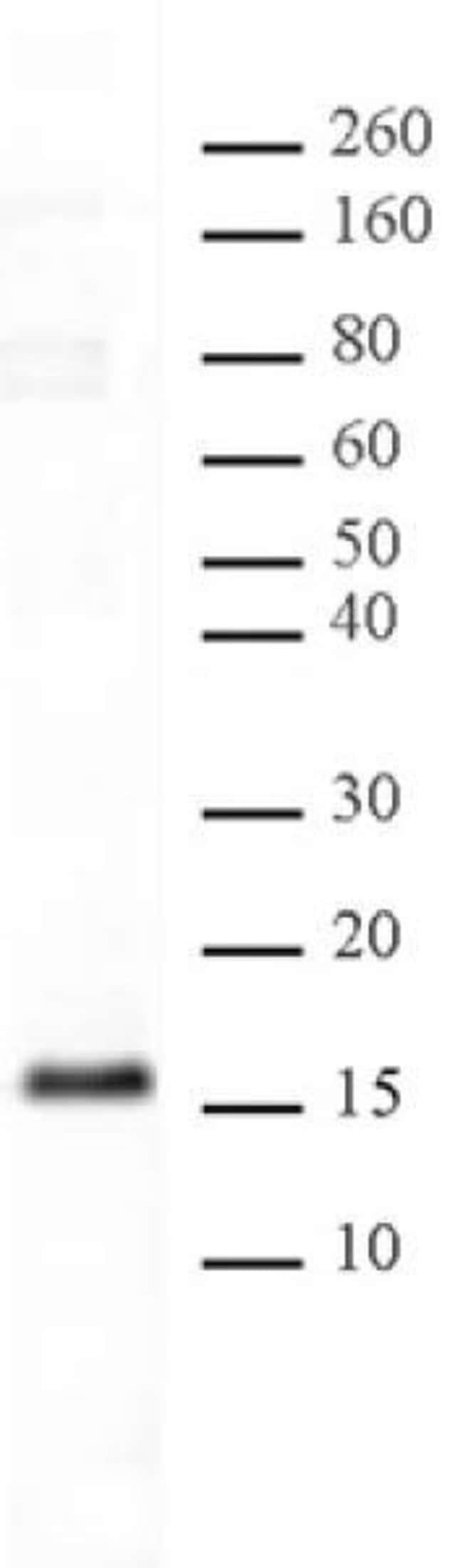 Histone H3K23me1 Rabbit anti-Human, Unconjugated, Polyclonal, Active Motif:Antibodies:Primary