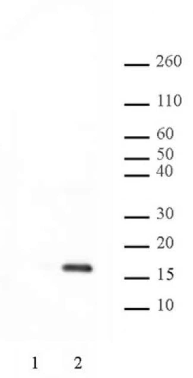 Histone H2AT120ph Rabbit anti-Human, Unconjugated, Polyclonal, Active Motif:Antibodies:Primary