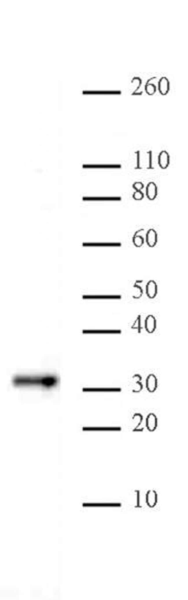 Bcl10 Mouse anti-Human, Clone: 151, Active Motif:Antibodies:Primary Antibodies