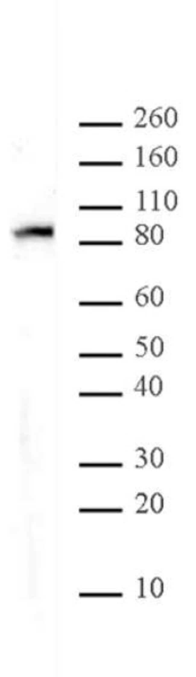 MALT1 Mouse anti-Human, Active Motif:Antibodies:Primary Antibodies