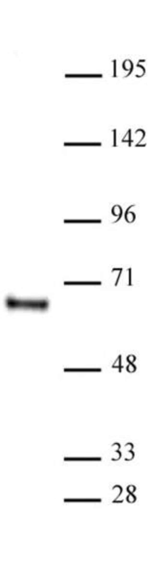 HDAC1 Mouse anti-Human, Mouse, Rat, Clone: 10E2, Active Motif:Antibodies:Primary