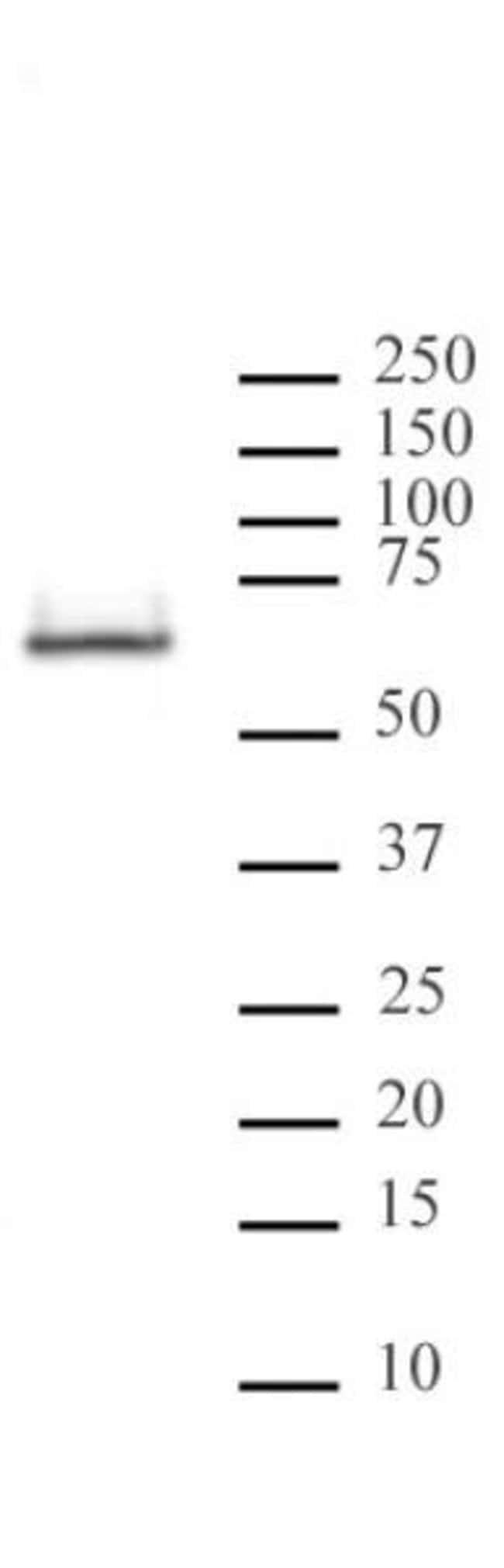 HDAC2 Mouse anti-Human, Mouse, Rat, Clone: 3F3, Active Motif:Antibodies:Primary