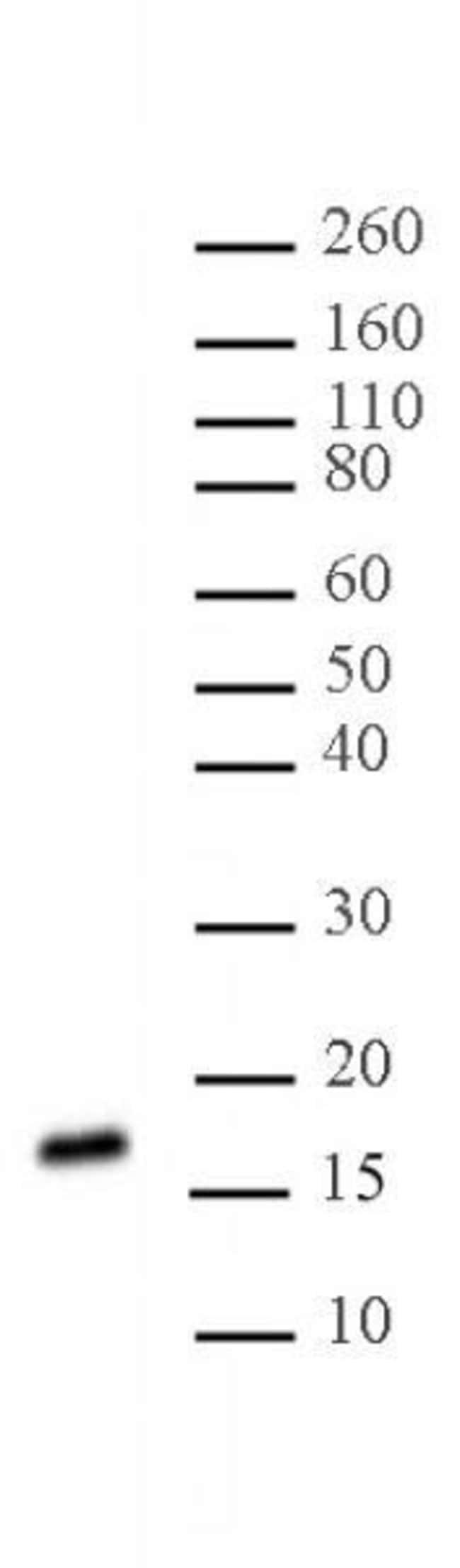 Histone H3K27me2me3 Mouse anti-Human, Clone: 7B11, Active Motif:Antibodies:Primary
