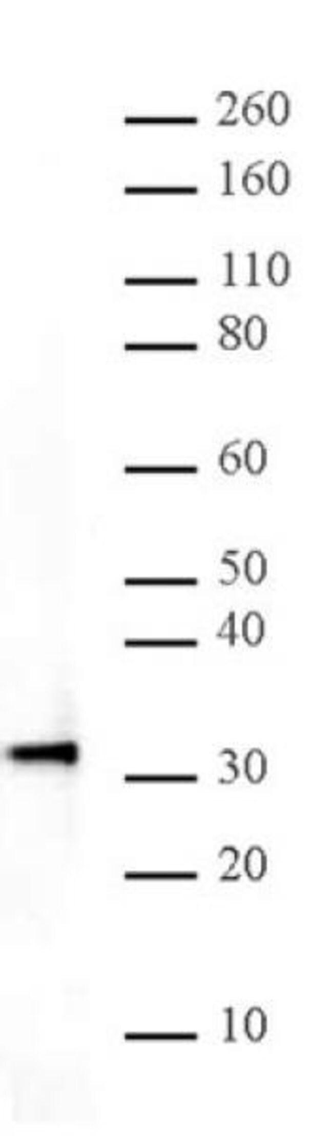 HMG-1 Rabbit anti-Human, Unconjugated, Polyclonal, Active Motif:Antibodies:Primary