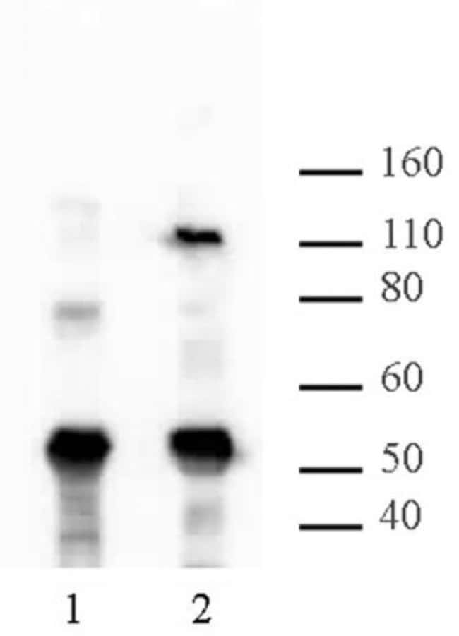 HIRA Mouse anti-Human, Mouse, Clone: WC119.2H11, Active Motif:Antibodies:Primary