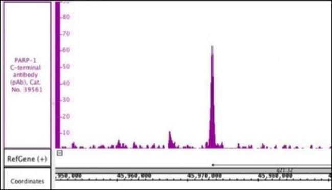 PARP-1 C-terminal Rabbit anti-Human, Unconjugated, Polyclonal, Active Motif:Antibodies:Primary