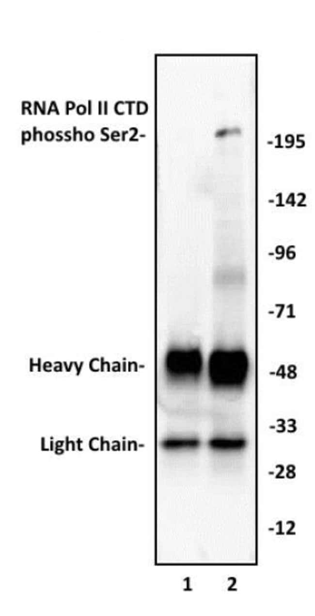 Phospho-RNA pol II CTD (Ser2) Rabbit anti-Human, Unconjugated, Polyclonal,