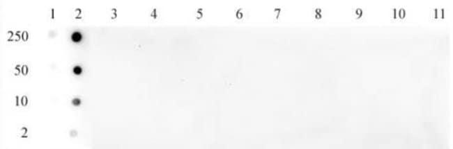 Histone H3K79ac Rabbit anti-Human, Unconjugated, Polyclonal, Active Motif:Antibodies:Primary