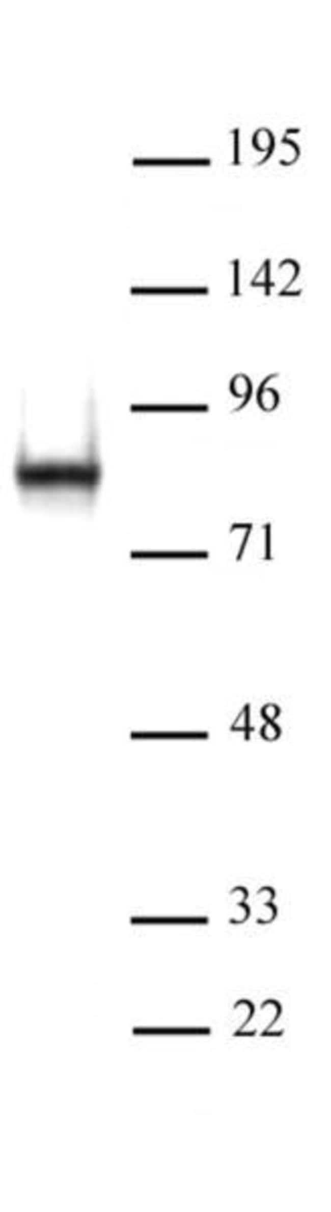 L3MBTL2 Rabbit anti-Human, Unconjugated, Polyclonal, Active Motif:Antibodies:Primary