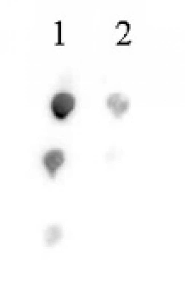 Histone H2BK46ac Rabbit anti-Human, Unconjugated, Polyclonal, Active Motif:Antibodies:Primary