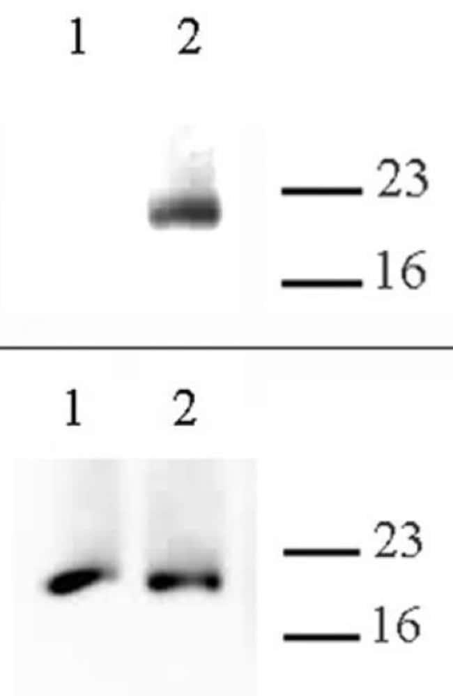 Histone H3.cs1 Rabbit anti-Human, Unconjugated, Polyclonal, Active Motif:Antibodies:Primary