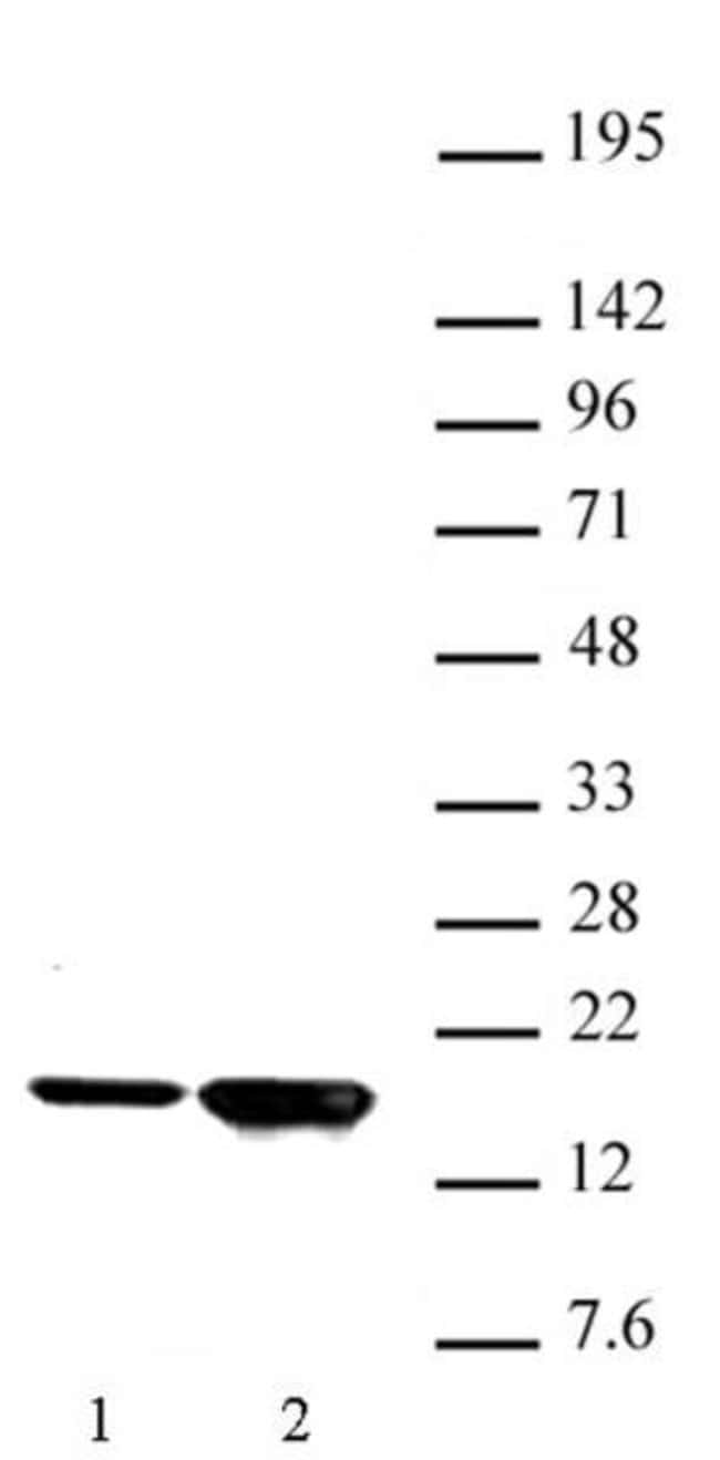Histone H3K9ac Rabbit anti-Human, Unconjugated, Polyclonal, Active Motif:Antibodies:Primary
