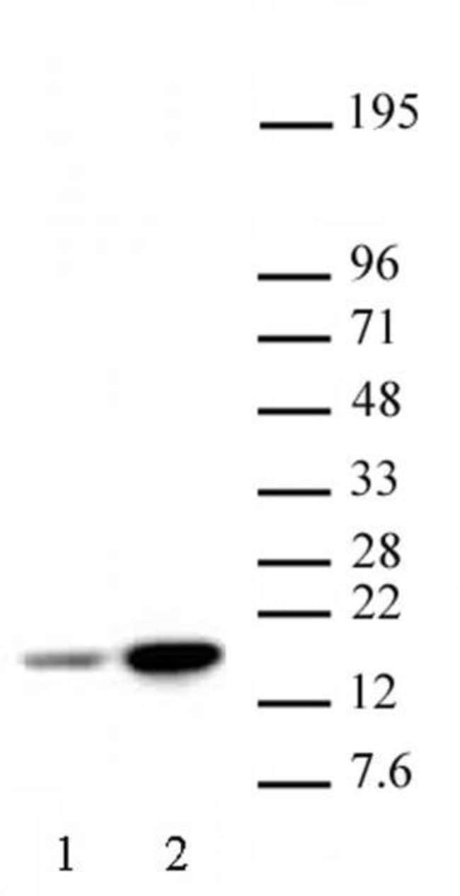 Histone H3K18ac Rabbit anti-Human, Unconjugated, Polyclonal, Active Motif:Antibodies:Primary