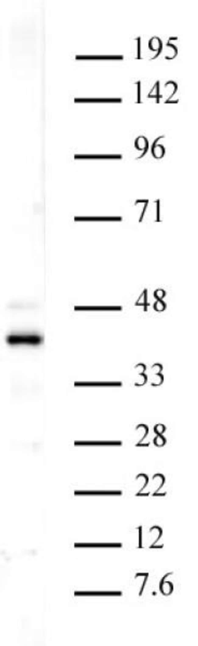 Histone macroH2A1 Rabbit anti-Human, Mouse, Unconjugated, Polyclonal, Active