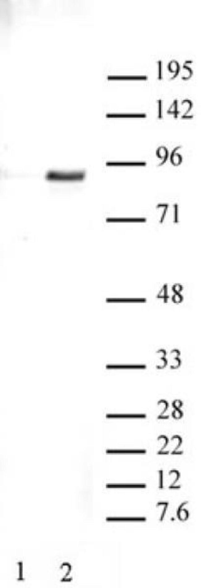 Phospho-STAT3 (Tyr705) Rabbit anti-Human, Unconjugated, Polyclonal, Active