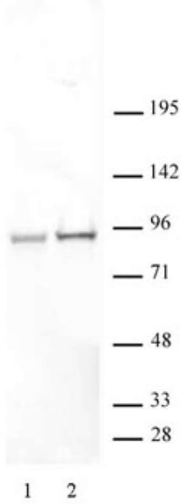 Phospho-STAT5A/B (Ser726, Ser731) Rabbit anti-Human, Unconjugated, Polyclonal,
