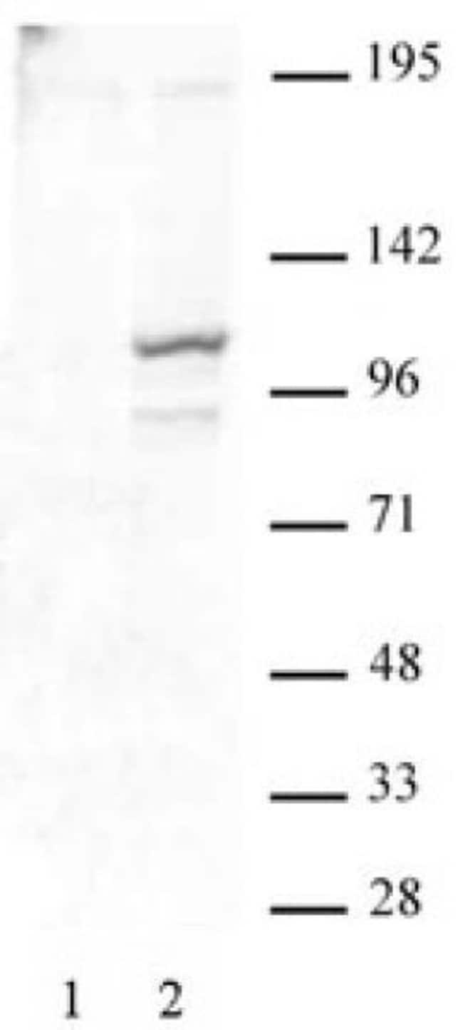 Phospho-STAT2 (Tyr689) Rabbit anti-Human, Unconjugated, Polyclonal, Active