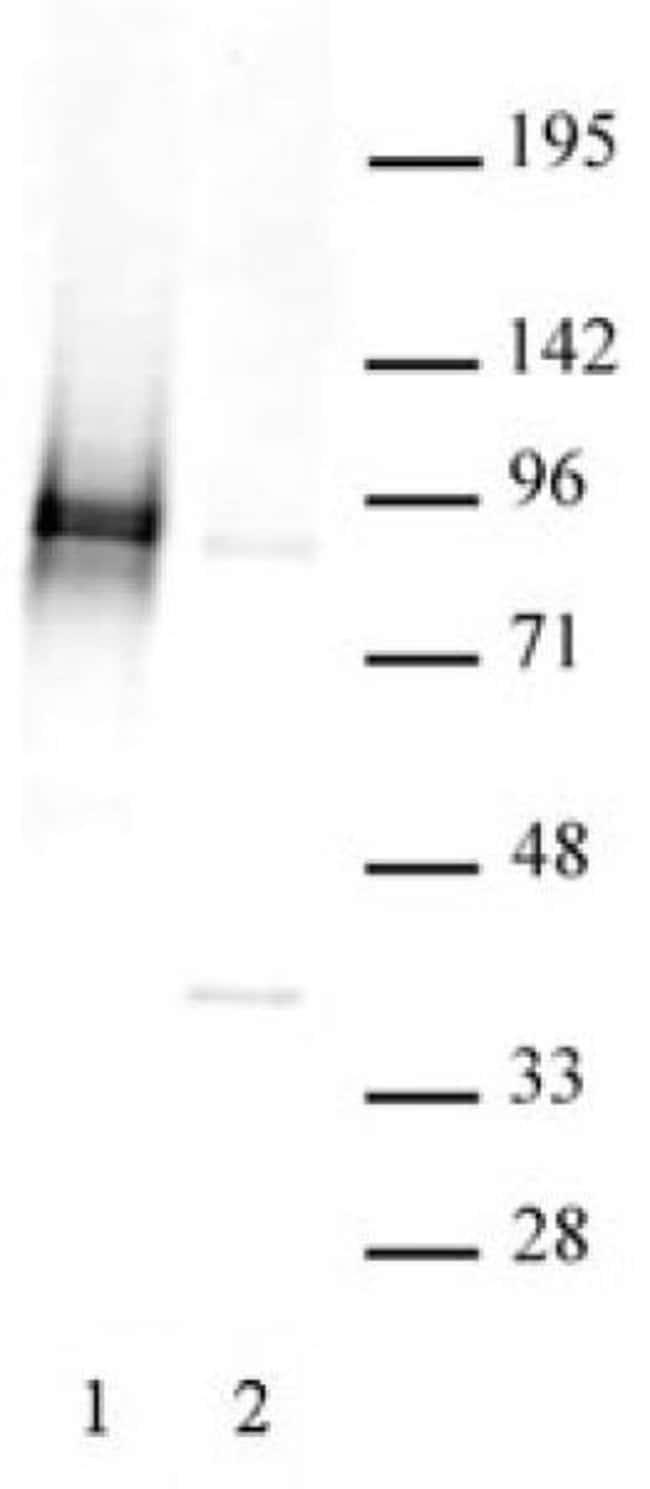 Phospho-STAT3 (Ser727) Rabbit anti-Human, Unconjugated, Polyclonal, Active