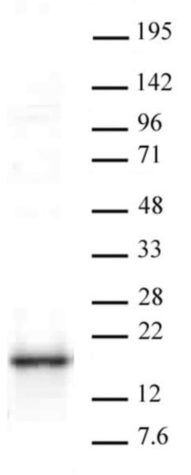 HMGA1 Rabbit anti-Human, Unconjugated, Polyclonal, Active Motif:Antibodies:Primary